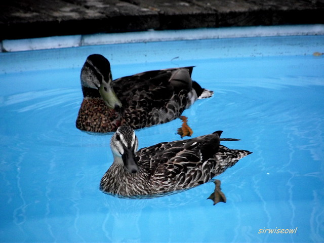 Uninvited Ducks In Our Swimming Pool Question We Have A Flickr Photo Sharing