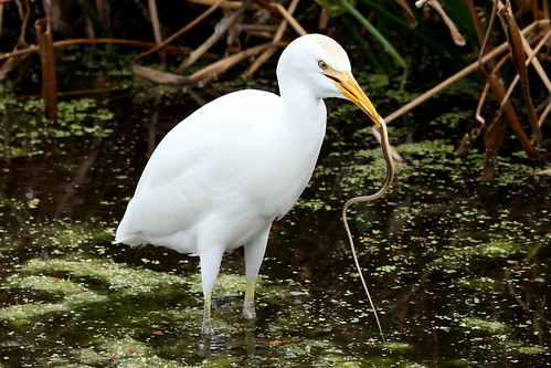 Cattle Egret with snake
