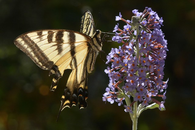 Swallowtail butterfly - but Pale or Western Tiger?