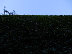 High laurel hedges