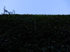 High laurel hedges