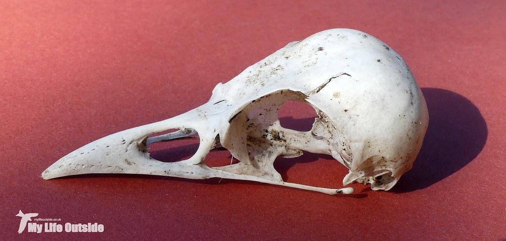 P1090506 - Jackdaw Skull