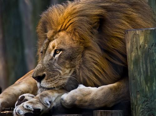 leo lion napleszoo aboveandbeyondlevel4 aboveandbeyondlevel1 aboveandbeyondlevel2 aboveandbeyondlevel3
