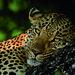 Leopard by safari-partners