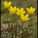 Marsh Saxifrage - Photo (c) Anders Lanzen, some rights reserved (CC BY-NC-SA)