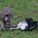 Goshawk killing Grey Heron by bayucca