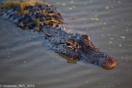 texas alligator americanalligator brazosbendstatepark 40acrelake