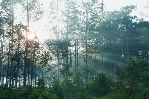 Dawn in pine forest