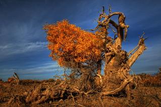 Populus diversifolia 胡杨(HDR)