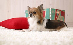 dog breed, chihuahua, animal, dog, pet, mammal, phalã¨ne, papillon,
