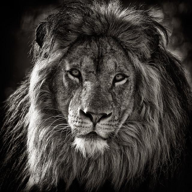 la faune en noir et blanc lion flickr photo sharing. Black Bedroom Furniture Sets. Home Design Ideas