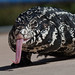 Argentine Black and White Tegu - Photo (c) Mike Baird, some rights reserved (CC BY)