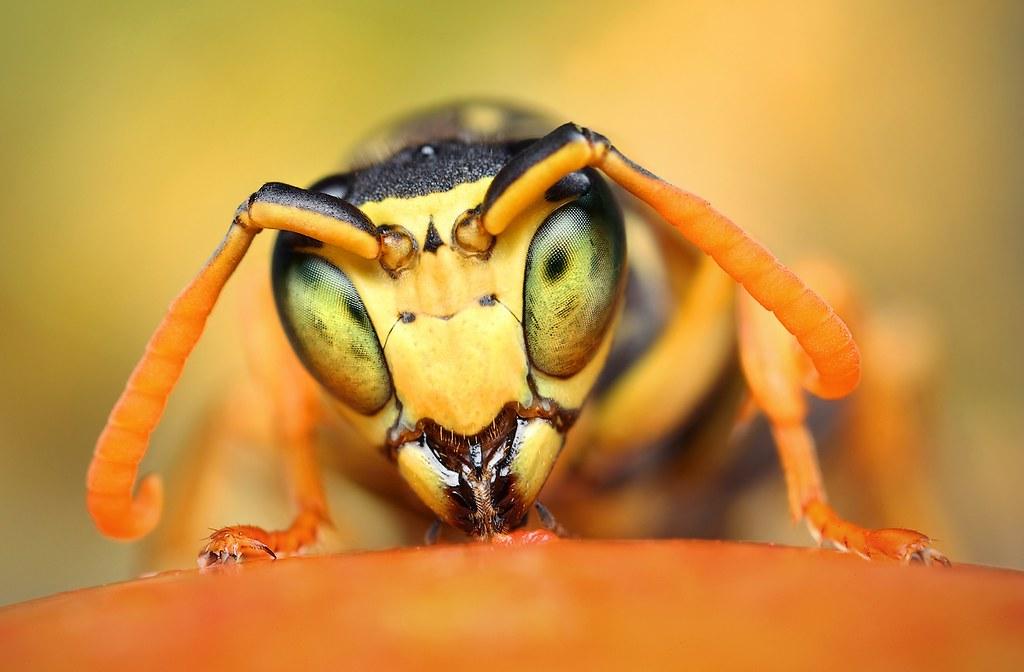 Osa dravá (Polistes gallicus)