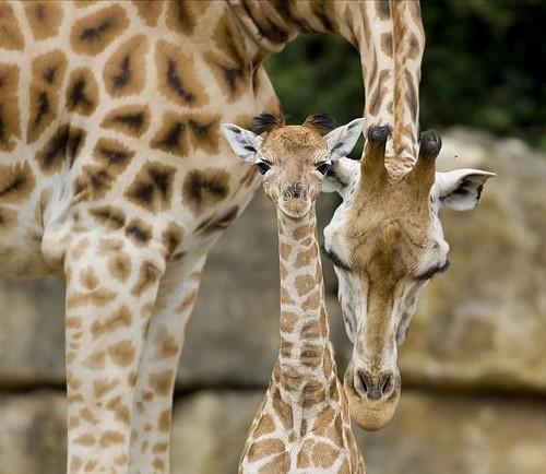Baby Giraffe Born at Longleat