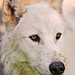 White and green wolf