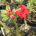 Small photo of Adenium obesum (desert rose)