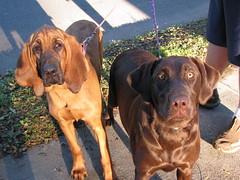 broholmer(0.0), bavarian mountain hound(0.0), tosa(0.0), dog breed(1.0), animal(1.0), dog(1.0), redbone coonhound(1.0), pet(1.0), carnivoran(1.0), coonhound(1.0), vizsla(1.0),