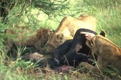 serengeti_lioness02_tn