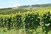 Vineyard at the Niederwalddenkmal