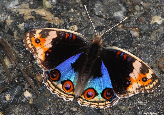 Blue Pansy - ♂