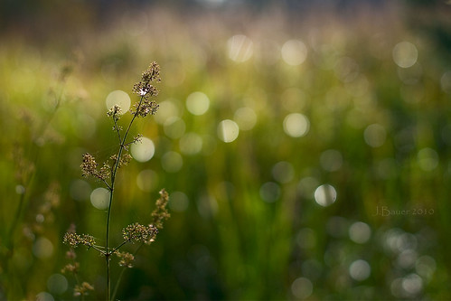 a grass and bokeh morning 144/365