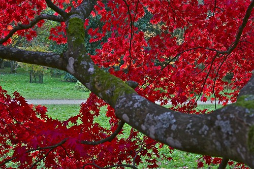Glorious Red curtain of Maple leaves