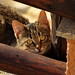 Small photo of Gatto Sardo