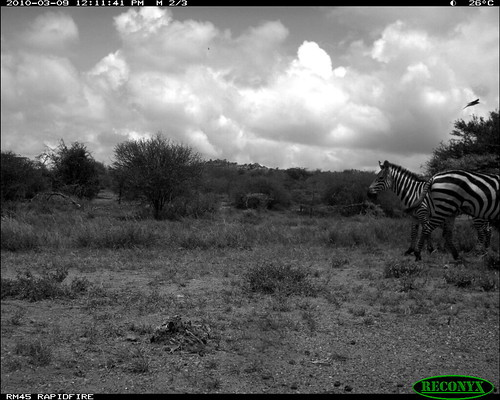 burchellszebra equusburchellii mpala taxonomy:common=burchellszebra siwild:study=mpala siwild:studyId=mpalasets siwild:plot=oljogi geo:locality=kenya siwild:trigger=oljogiseq1112 sequence:id=oljogiseq1112 sequence:length=39 siwild:imageid=kenyapic5768 sequence:index=32 otherhoovedmammals taxonomy:group=otherhoovedmammals taxonomy:species=equusburchellii siwild:location=mpala238 siwild:camDeploy=mpaladeploy687 siwild:date=201003091211000 file:name=img0146jpg file:path=dpt36pt36cam14disc32bimg0146jpg siwild:species=165 geo:lon=0348127 geo:lat=37046007 siwild:region=kenya BR:batch=sla0620101118055537 sequence:key=19