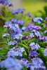 <p>Frühlingsblumen<br /> __<br /> Forgetmenot in spring</p>