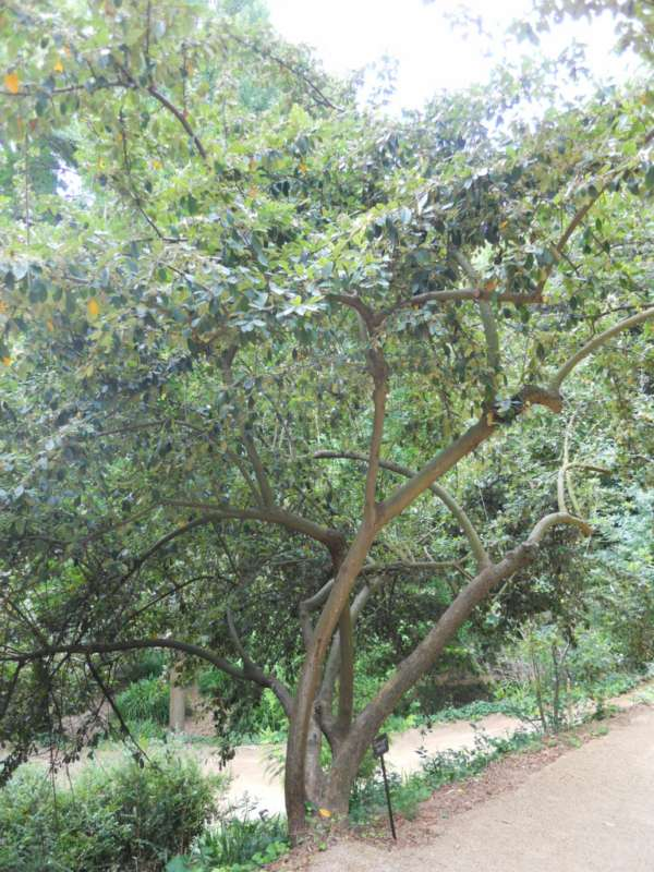 Cotoneaster lacteus v 2