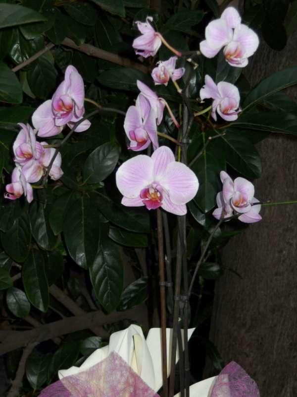 Phalaenopsis híbrido v 1
