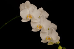 flower, yellow, white, macro photography, phalaenopsis equestris, flora, moth orchid, close-up, plant stem, petal,
