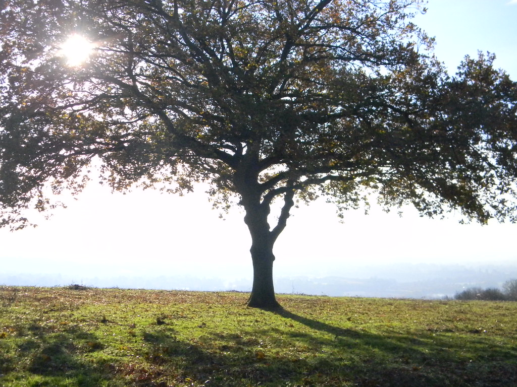 Tree on the Downs Merstham to Tadworth