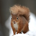 Red Squirrel in snow © Wild Wonders of Europe / Peter Cairns / WWF