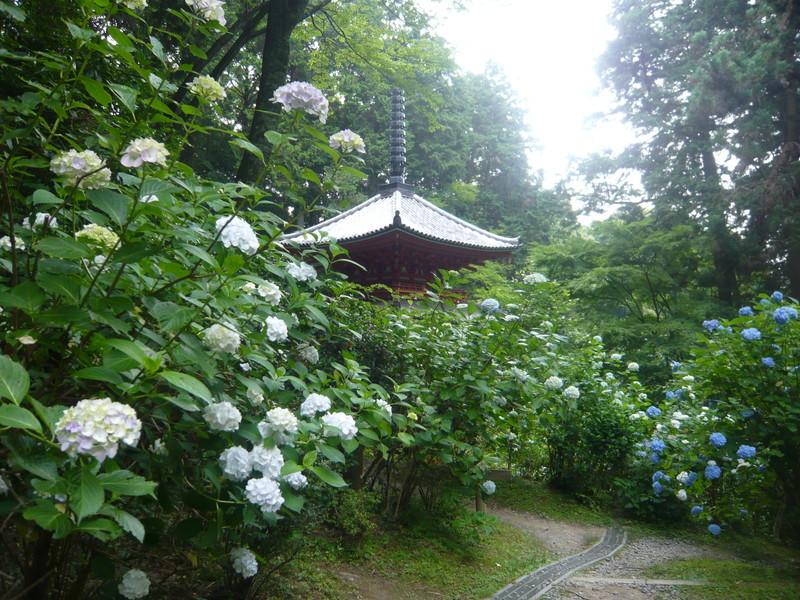 岩船寺の紫陽花 あじさい アジサイ gansenji hydrangea kyoto japan