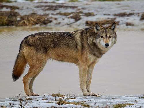 Lone Wolf by Todd Ryburn