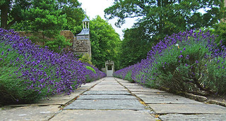 Lavender is wonderful edging for paved and brick pathways