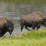 Bison at the River