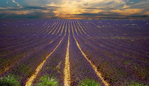 A Lavender Sunset
