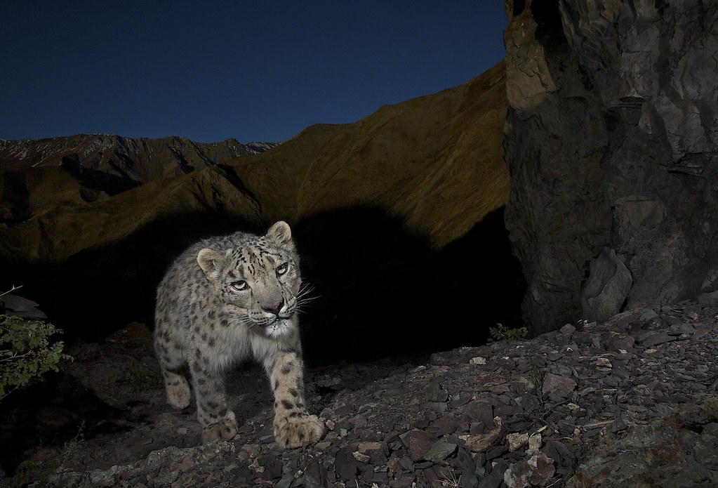 Snow leopard emerging from the shadows - Ladakh, India