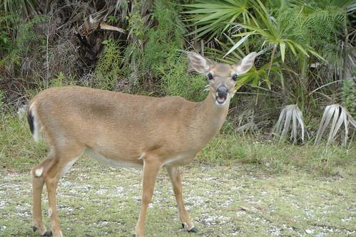 Key Deer Big Pine Key