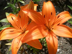 Lily 2010/11.