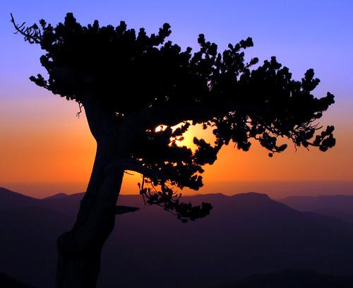 trees usa silhouette pine america sunrise us colorado unitedstates silhouettes explore american rockymountains frontrange pinetrees bristleconepine américain silhuetas subalpine bristlecones explored sandraleidholdt leidholdt sandyleidholdt