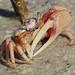 Fiddler Crab by Dave 2x