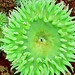 Anthopleura - Photo (c) Planet Earth, some rights reserved (CC BY-NC-ND)