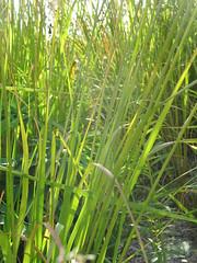prairie, agriculture, sweet grass, field, grass, plant, chrysopogon zizanioides, herb, hierochloe, green, crop, meadow, grassland,