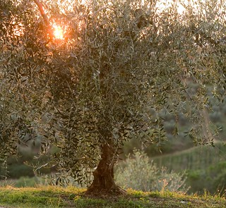 Olive tree at sunset, tuscany