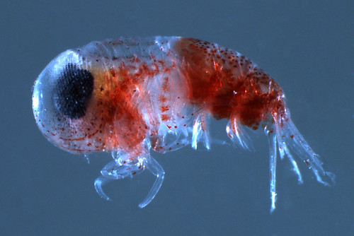 the echinoblog amphipods tiny crustaceans that show amazing colors