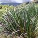 Machaerina angustifolia