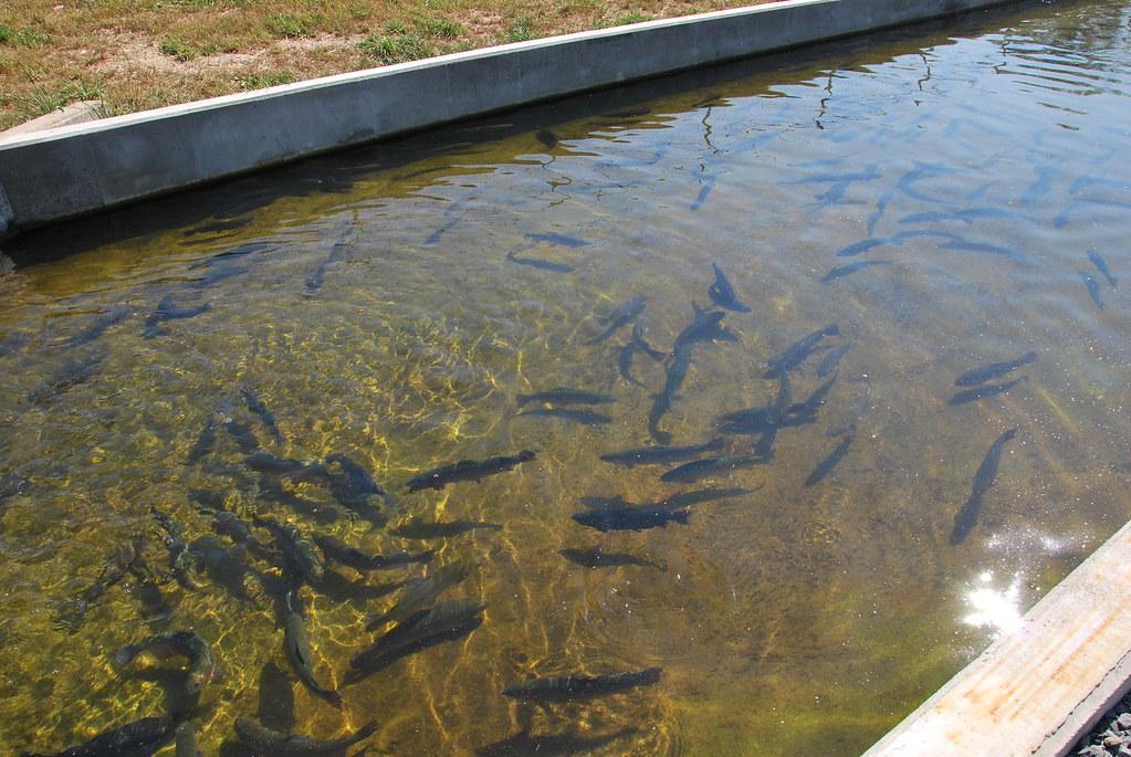 White sulphur springs national fish hatchery west for Virginia fish hatchery